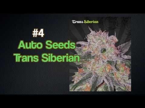 Autoflowering Seeds Autoflower Seed Bank   Top 5 Strongest Strains