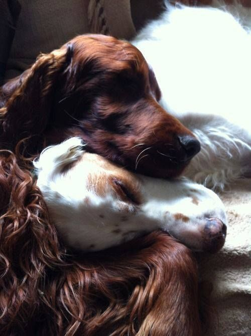 Love this picture, it is so sweet! An Irish and English setter.