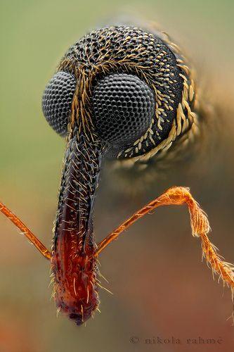 Globe-eyed weevil at 20x (focus stack)