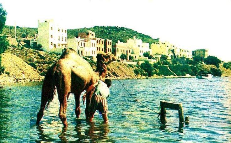 Eski Bodrum - Paşatarlası'nda develer yıkanırken - 1982 - Ali Şengün Arşivi