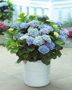 TOP 10 Tips on How to Plant, Grow and Care for Hydrangeas - would make a beautiful potted plant for the porch,