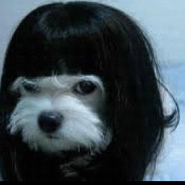 GOTH DOG  Funny Dog Dogs Puppy Puppies Gothic Tattoo Wigs