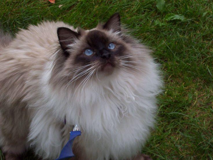 100 best Ragdoll Cats images on Pinterest | Ragdoll cats ...