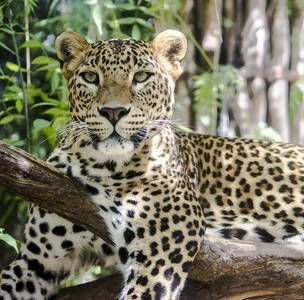 Zoobotanico Jerez :: LEOPARDO DE SRI LANKA