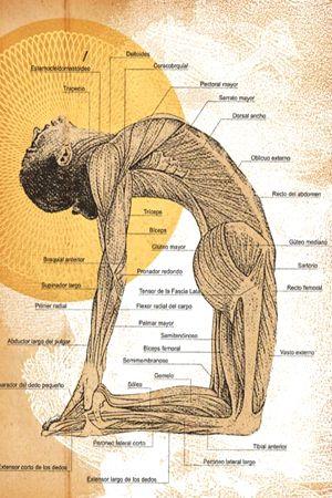 1960's: Vintage picture of the musculature in camel pose  (vintage yoga photo) ...... #vintageyoga #yogahistory #1960s #yogaworld #om #namaste #yoga