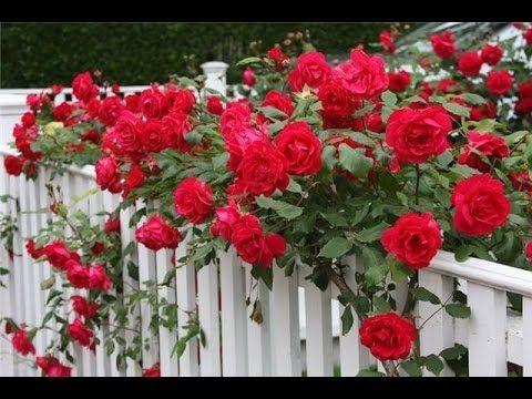 Какой сорт розы выбрать для посадки на даче - YouTube