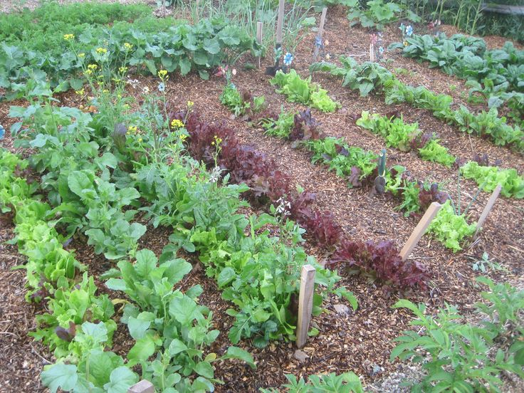 Grow Lettuce and Greens.....this is so easy to do.....Plus, it saves Money. Lettuces and Greens are Super Nutritious and Super Healthy! And, they are super easy to grow in your garden, in a greenhouse, on your deck in pots and containers.