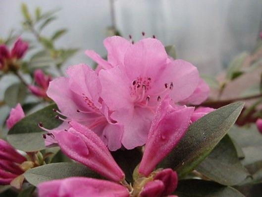 "azalea/rododendro da giardino o per bonsai ""Olga Mezitt"""