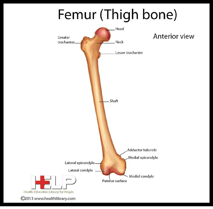 thigh bone – citybeauty, Human Body