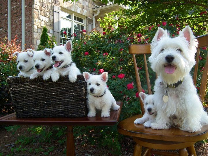 Proud Mother West Highland Terrier with her Litter of Puppies