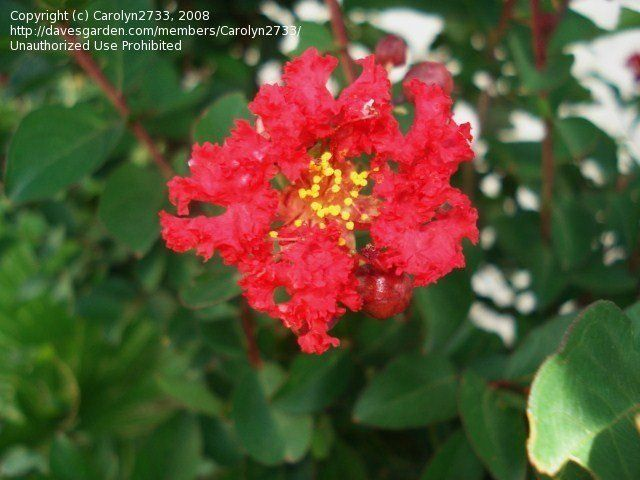 View picture of Crape Myrtle, Crepe Myrtle 'Red Rocket' (Lagerstroemia indica) at Dave's Garden.  All pictures are contributed by our community.