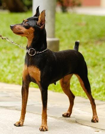 One day I will have my Min Pin. Someone buy me one please I will love you forever lol! HINT=BIRTHDAY IS IN A FEW WEEKS lol i can try but i aint going to get one :(