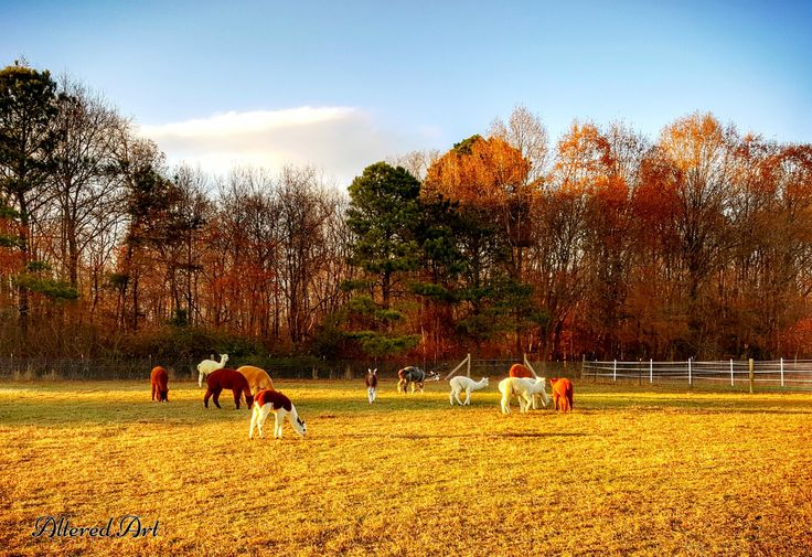 Alpaca farm in Caroline County, Maryland