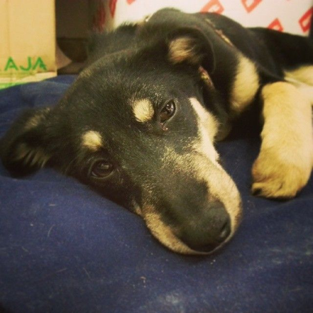New entry @ #lamidea team: Nina. We work,she sleeps. #petstagram #cute #petsagram #nature #animals #animal #pets #pet #dogsofinstagram #eyes...