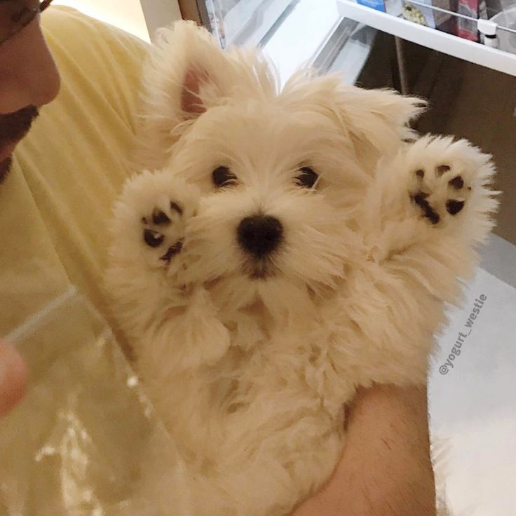 """3,174 Likes, 45 Comments - Yogurt Bear (@yogurt_westie) on Instagram: """"I surrender to boiled chicken -------------------------------------- Papa promise me if i have…"""""""