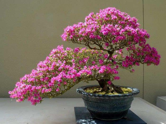 Foto Cara Merawat Bunga Bougenville Bonsai Bunga Merah