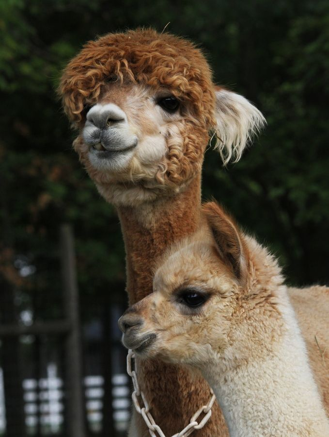 Nate's mother and gradmother - much to his despair - run an Alpaca farm in the wilds of Devon!