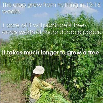 Industrial Hemp: This crop grew from nothing in 12-16 weeks. 1 acre of it will produce 4 tree-acres worth of more durable paper. It takes much longer to grow a tree.