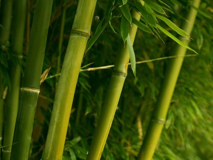 Japanese Bamboo thin