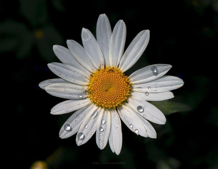 Mrs Daisy dancing in the rain by Maurizio Di Renzo on 500px