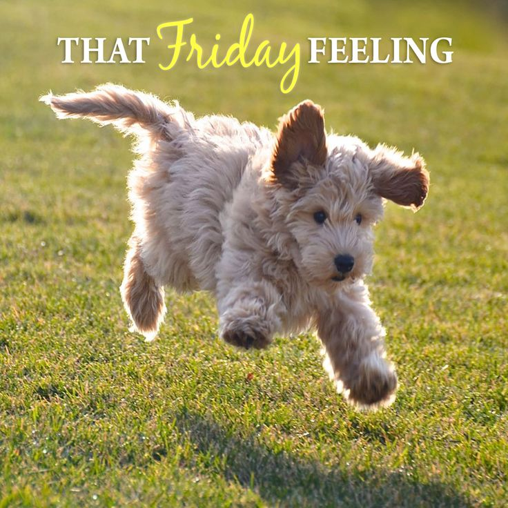 Is this how you feel on Fridays? We love Goldendoodles!