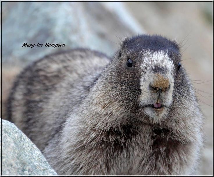 another Marmot found on the top of Whistler Mountain BC