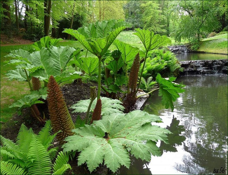 17 best images about gunnera soorten on pinterest gardens cornwall and the plant. Black Bedroom Furniture Sets. Home Design Ideas