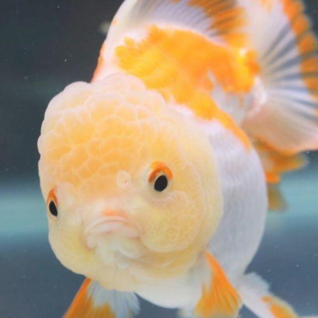 Oranda Phantasie Goldfisch Verargert Susses Gesicht Gesicht Goldfisch Oranda Phantasie Susses Verargert In 2020 Goldfish Aquarium Goldfish Types Oranda Goldfish