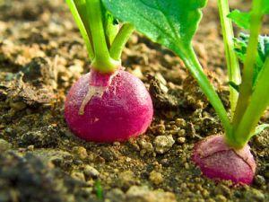 Radis et laitues; Plantez vos haricots verts à côté des pommes de terre, les tomates dans les parages des oignons, les radis avec la laitue et le céleri avec l'ail. Ces plantes s'entraident pour chasser les pucerons. Vaporisez aussi du savon noir dans le jardin pour y attirer les coccinelles, vos meilleures alliées contre une invasion de nuisibles. Plantez aussi de la lavande et du rhododendron pour attirer les papillons.