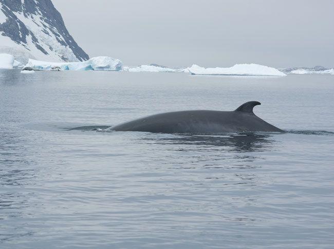 Chasse à la baleine dans l'Antarctique, le Japon renonce. La Cour internationale de justice a ordonné au Japon d'arrêter de chasser la baleine dans l'Antarctique. Contraint et forcé le Japon stoppe sa prochaine expédition annuelle, mais continue dans le Pacifique Nord...