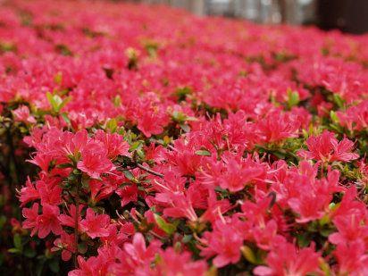 Azalea.-Rhododendron indicum.-Ericáceas