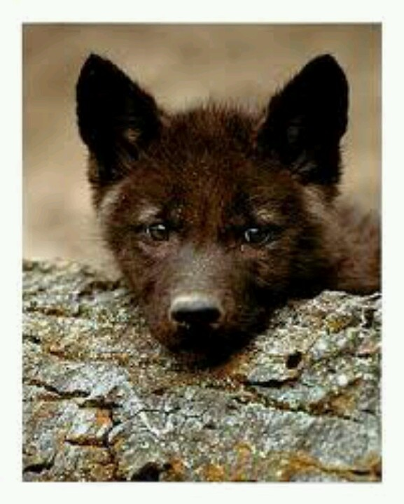 541 Best Wolf Pups Images On Pinterest