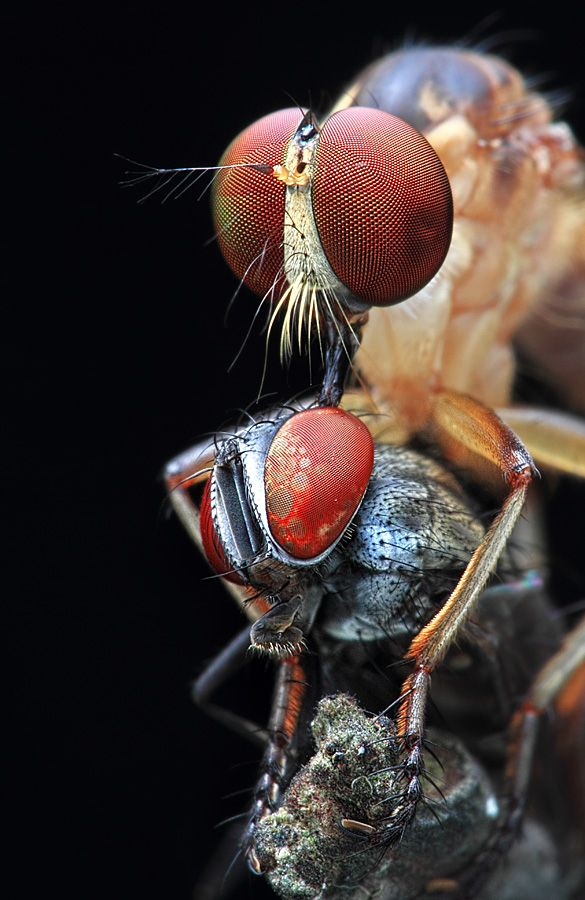 terrorfying! is that a stinger coming from the top insect to the back of the head of the smaller insect. it appears that they can see behind there bodies so the insect on the bottom is actually watching the other insect suck its brains out!