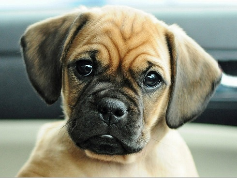 Pug and Beagle = Puggle It just doesn't get any better!