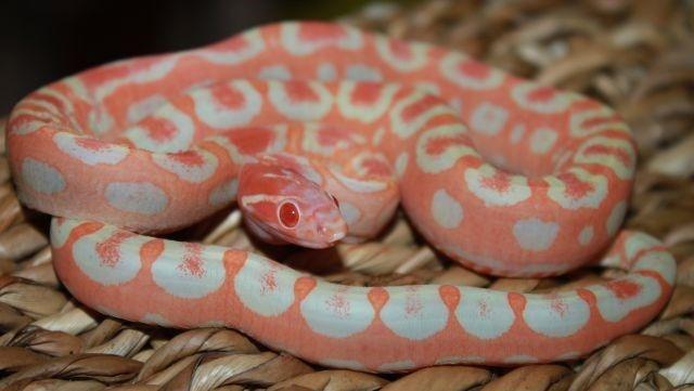 Cobra-do-milho-sem-escamas