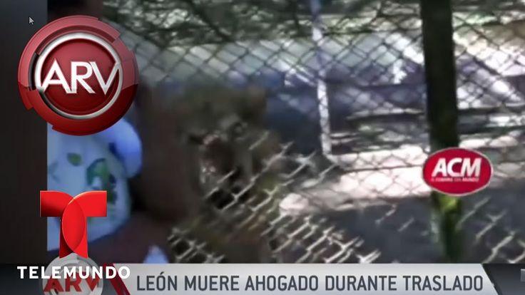 Muere un león al ahogarse en zoológico en Dominicana | Al Rojo Vivo | Telemundo https://youtu.be/MWMUZCjfAig via @YouTube