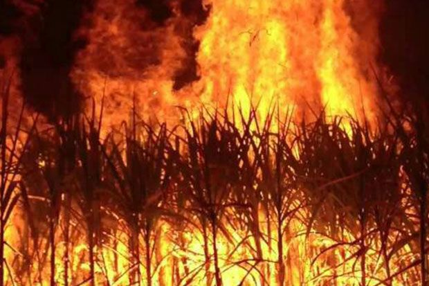 Burning sugarcane