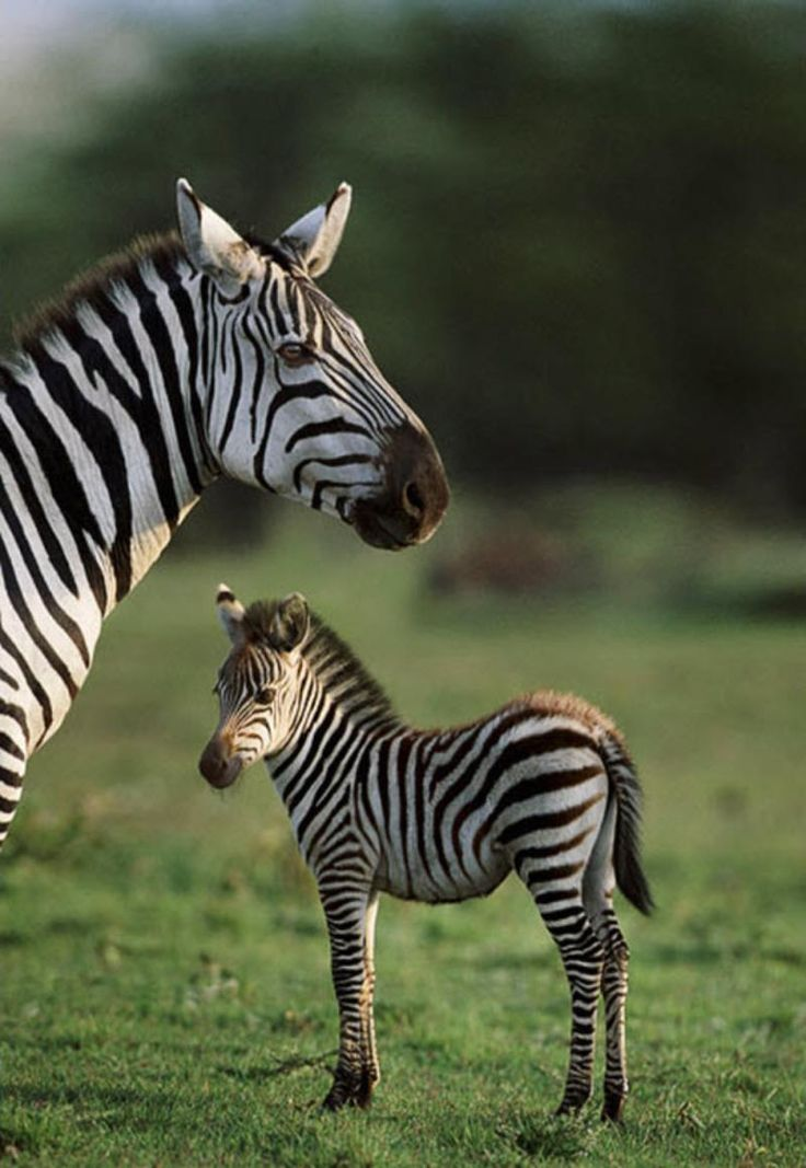 ~~Burchell's zebraand young, Masai Mara, Kenya by Steve Bloom~~  https://www.facebook.com/KerDowneyAfrica