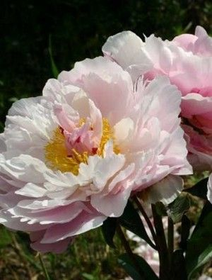 Peony Catharina Fontijn Growes In My Garden