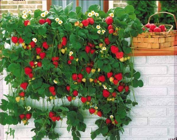 les 25 meilleures id 233 es concernant fraisier remontant sur framboisier remontant