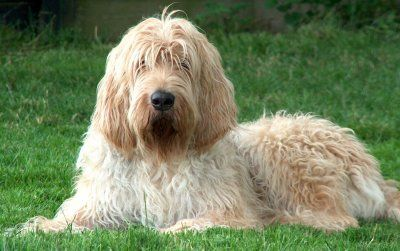 Otterhound - a rare and vulnerable dog breed of only about 1000 in the world. From England