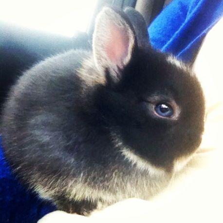 Netherland dwarf bunny - are the blue eyes photoshopped? Usually netherland dwarves have brown