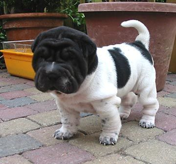 Shar Pei's, hand's down, are the cutest dogs ever ... little baby flower pei <3