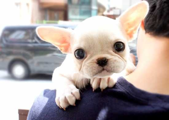 French Bulldog Puppies Teacup