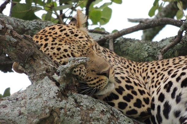 Leopard Panthera pardus sleeping in a tree Serengeti NP Tanzania  #animal #leopard #panthera #pardus #sleeping #tree #serengeti #tanzania #photography