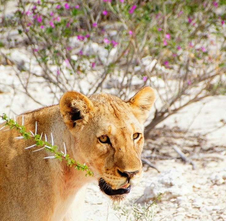 Young lion on a bush walk -  Etosha Namibia