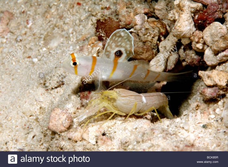 pistol shrimp and goby relationship
