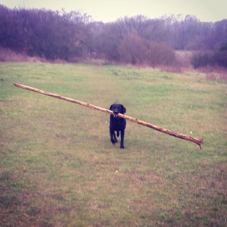 Simmy and a super sized stick! #dog #cute #doglover #stick #dogstick #hugestick #labrador #blacklabrador #blacklab #cute #cutedog #cutepet #ilovemydog