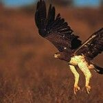 El águila marcial (Polemaetus bellicosus) es una gran águila que habita en lugares abiertos y semi-abiertos del África subsahariana. Es el único miembro del género Polemaetus…