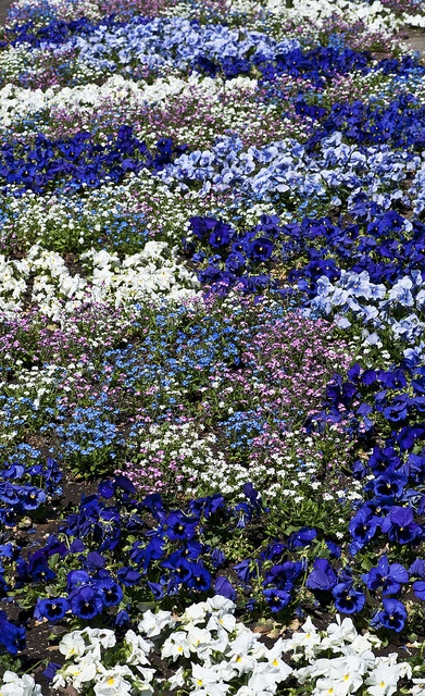 Flower bed of annuals featuring different shades of blue pansies, Botanical Garden of Tübingen, Germany